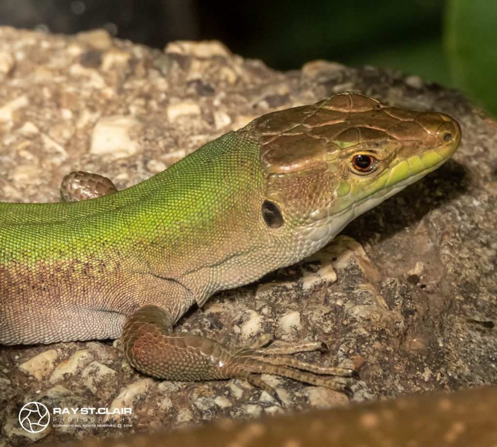 Sicillian Wall Lizard