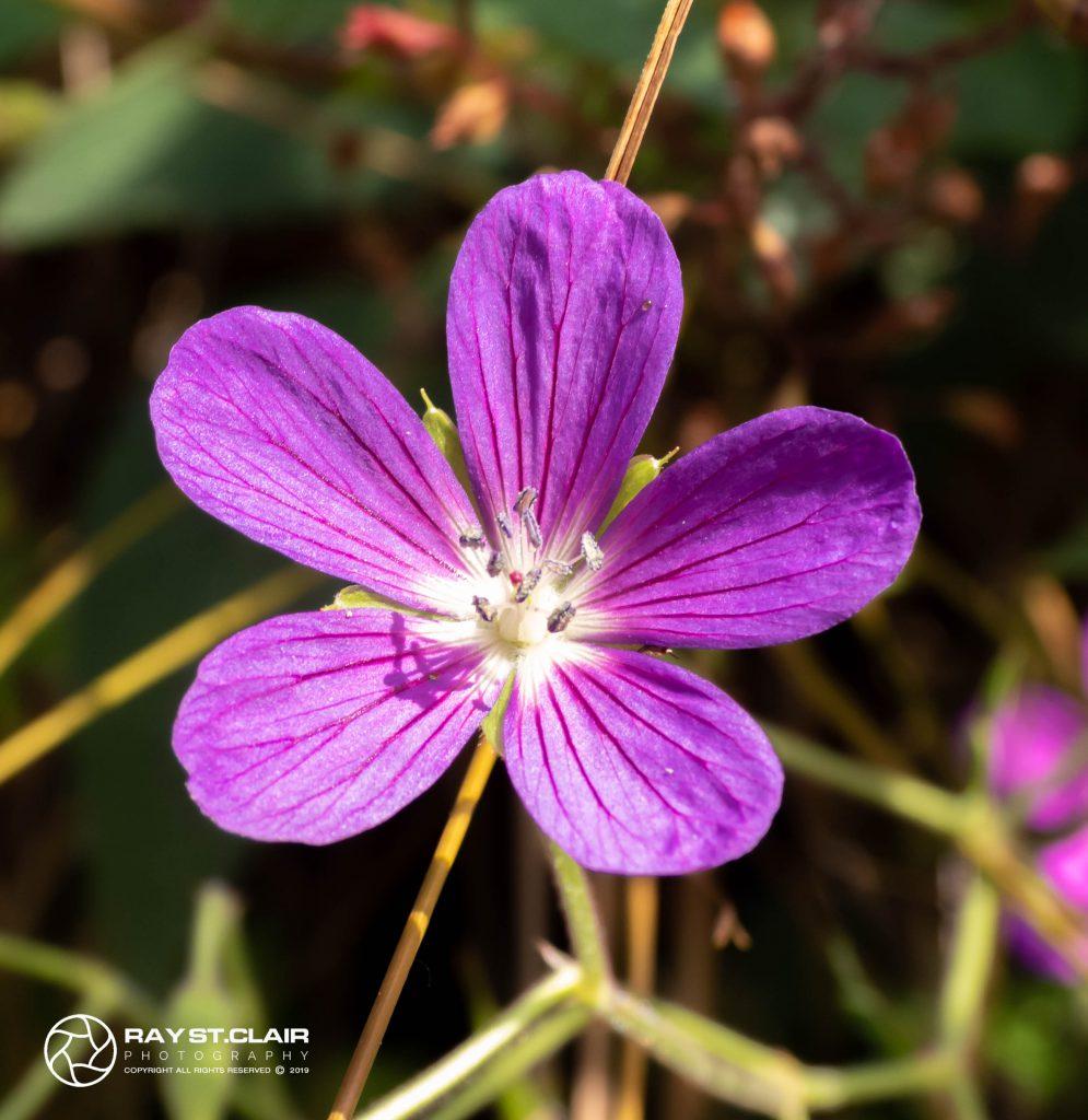Cranesbill 'Kashmir Purple'