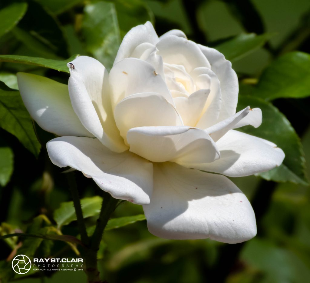 Rose (White Tea)