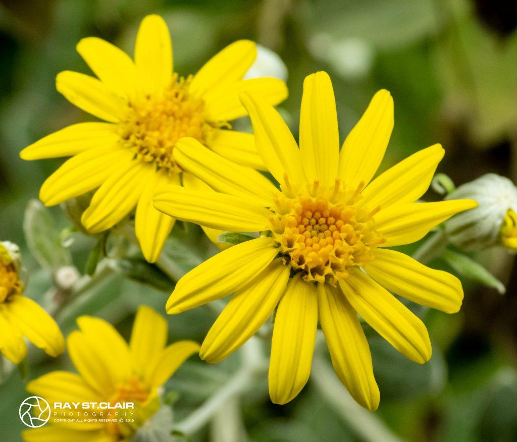 Rough Sunflower