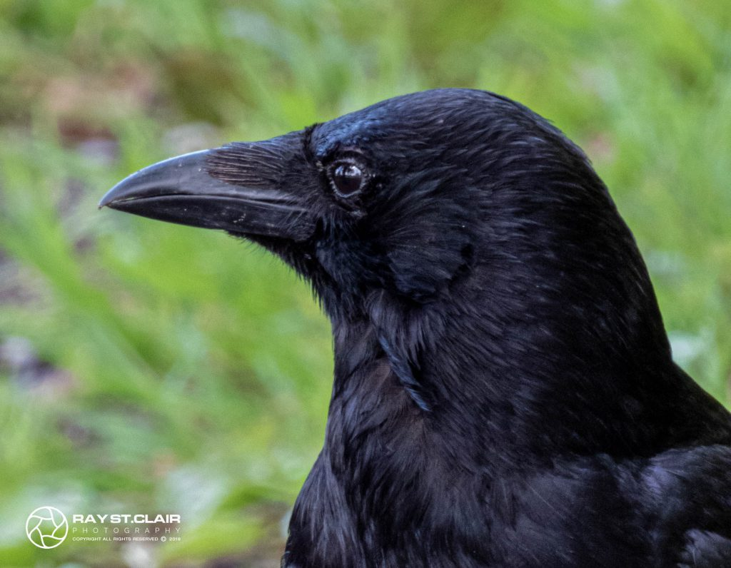 Carrion Crow (M)