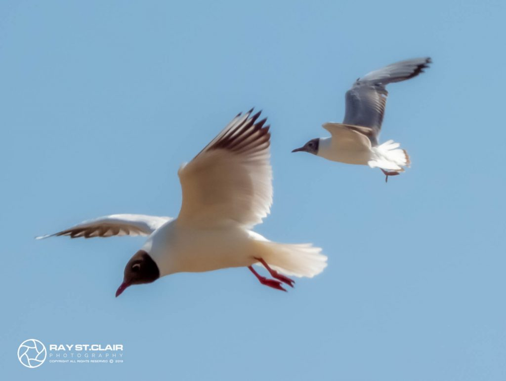 Brown Headed Gull (M)