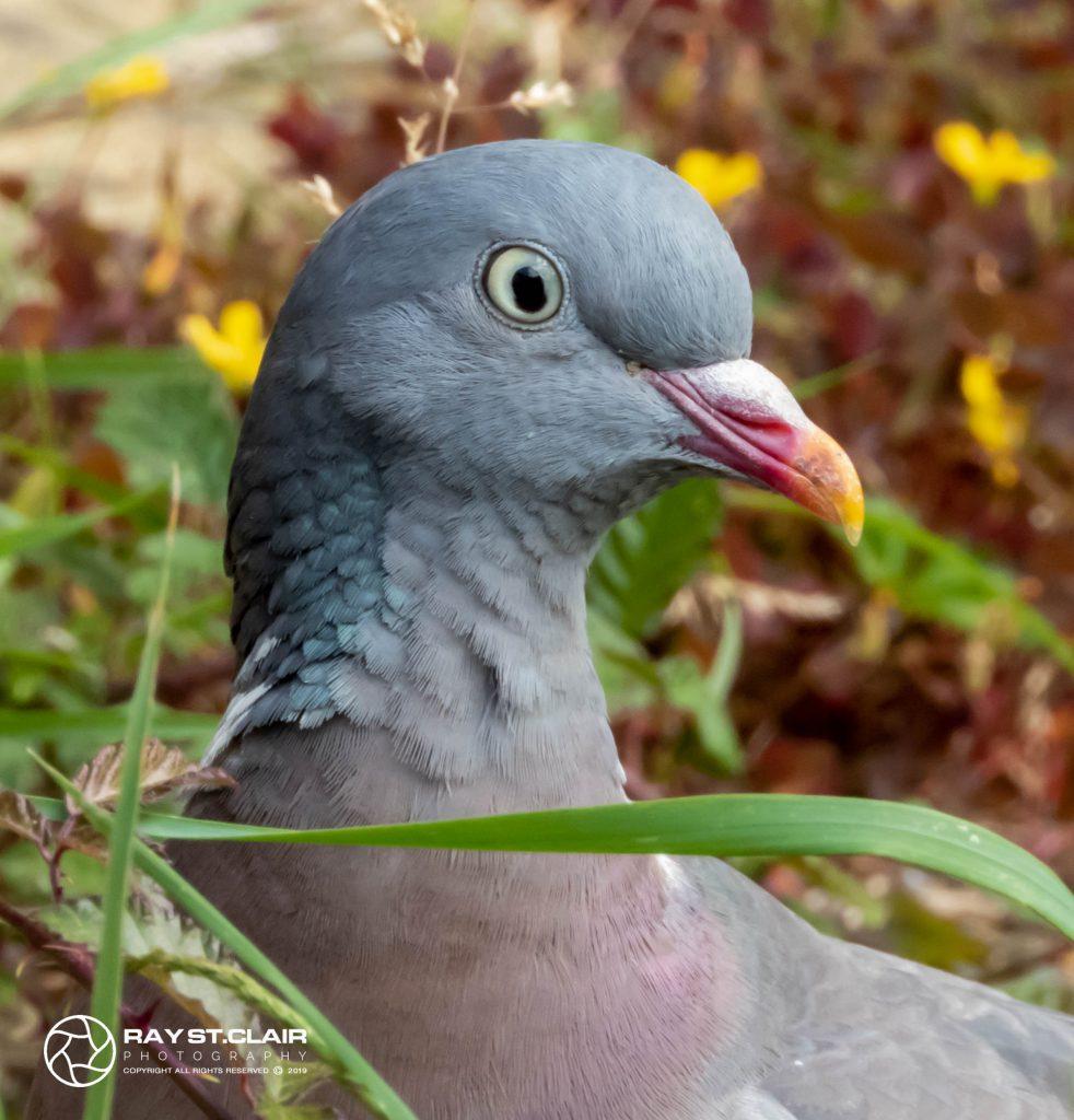 Wood Pigeon (F)